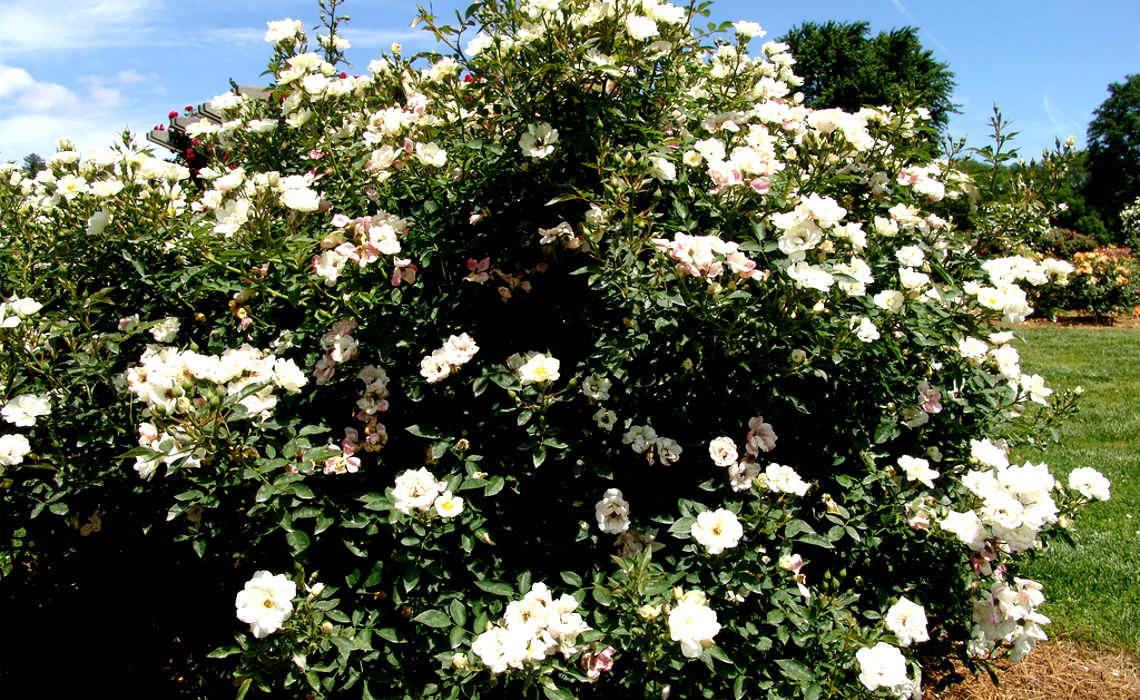 Blossoming Shrub [CCBY Drew Avery]