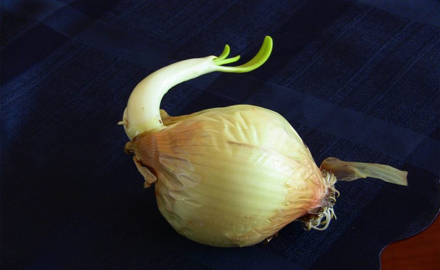 Onion [CCBY Fabricio Zuardi]