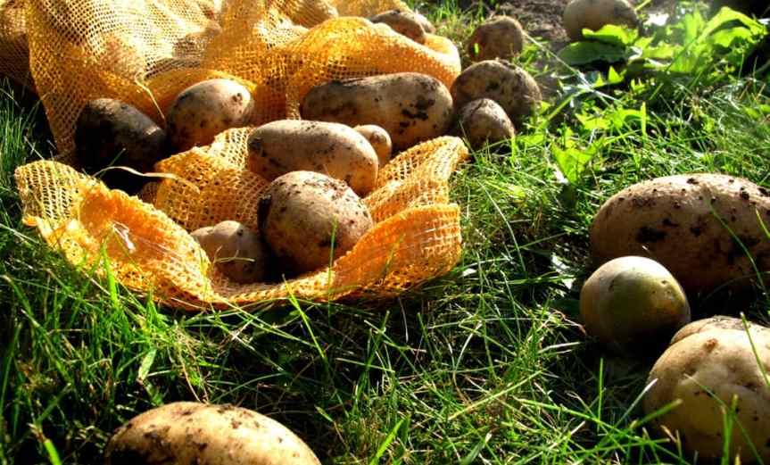Potatoes [CCBY Dag Endresen]
