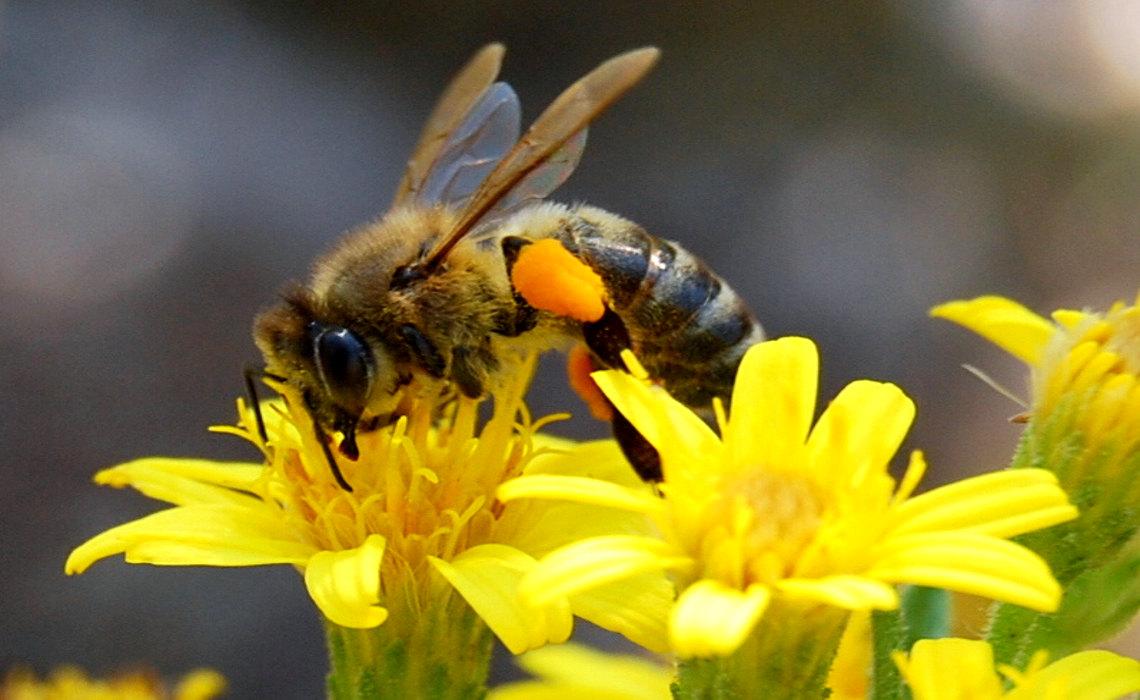 Bee On Flower [CCBY Natalie Sayin]