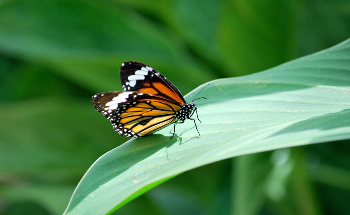 Butterfly on Leaf [CCBY Daniel Hall]