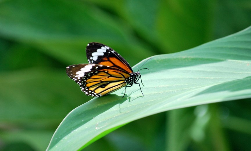 Butterfly on Leaf [CCBY Daniel Hall]