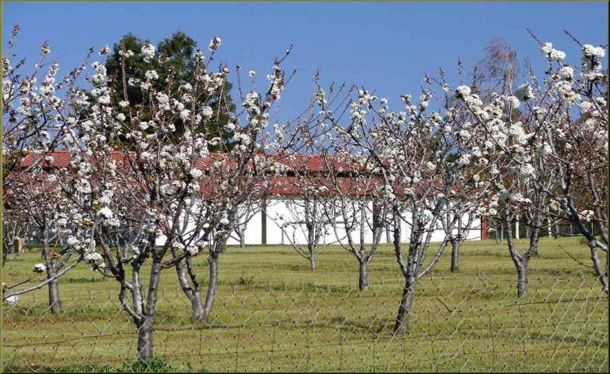 Cherry Trees [CCBYSA Don Graham]
