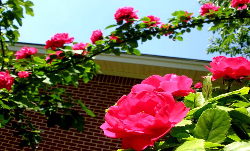 Climbing Roses [CCBY Steven Polunsky]