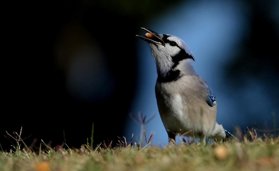 Eating Bird [CCBYSA Manjith Kainickara]