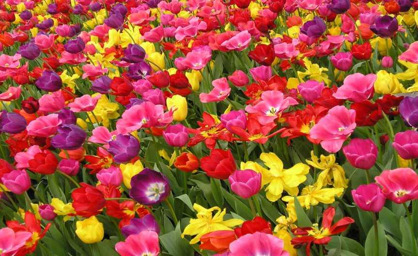 Field of Tulips [CCBYSA Markle55]