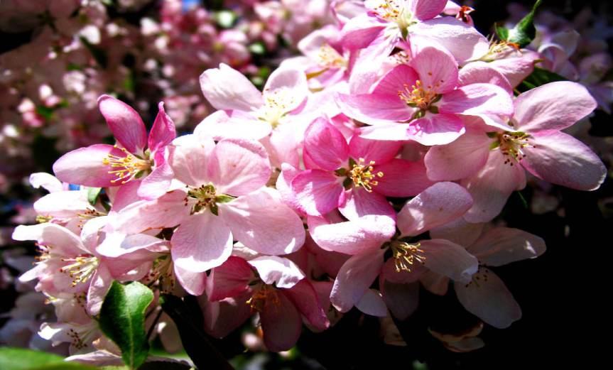Fruit Blossoms [CCBY John Talbot]