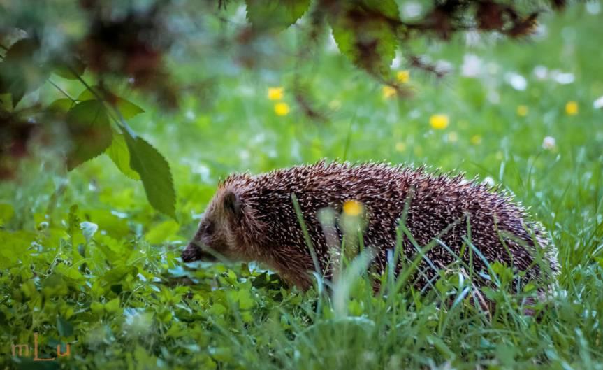 Garden Hedgehog [CCBY m lufotos]