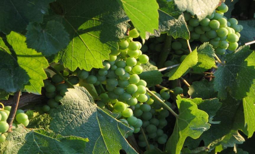Grape Vines [CCBY EPhotos]