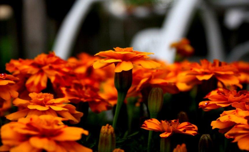 Mariegolds [CCBYSA Anne Hornyak]