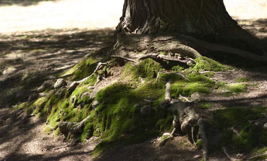 Moss on Root [CCBYSA Grendelkhan]
