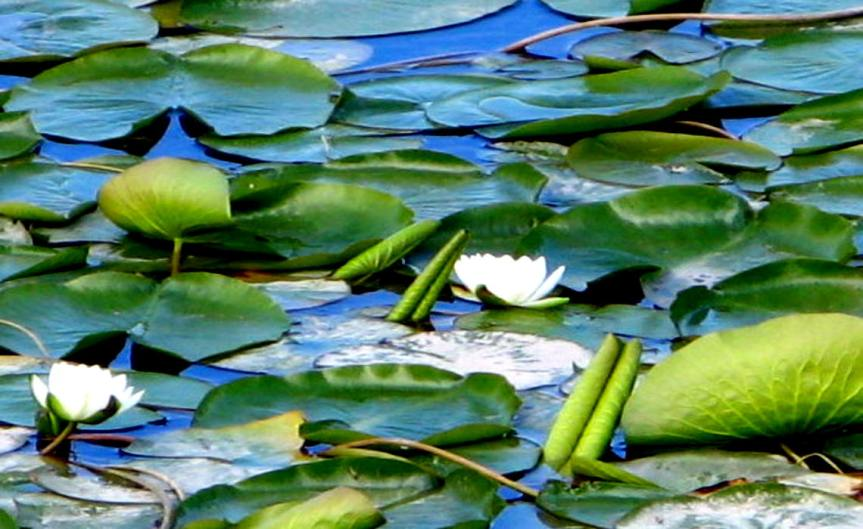 Pond Plants [CCBY Andrea44]