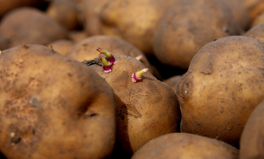 Potatoes [CCBY BASFPlantscience]