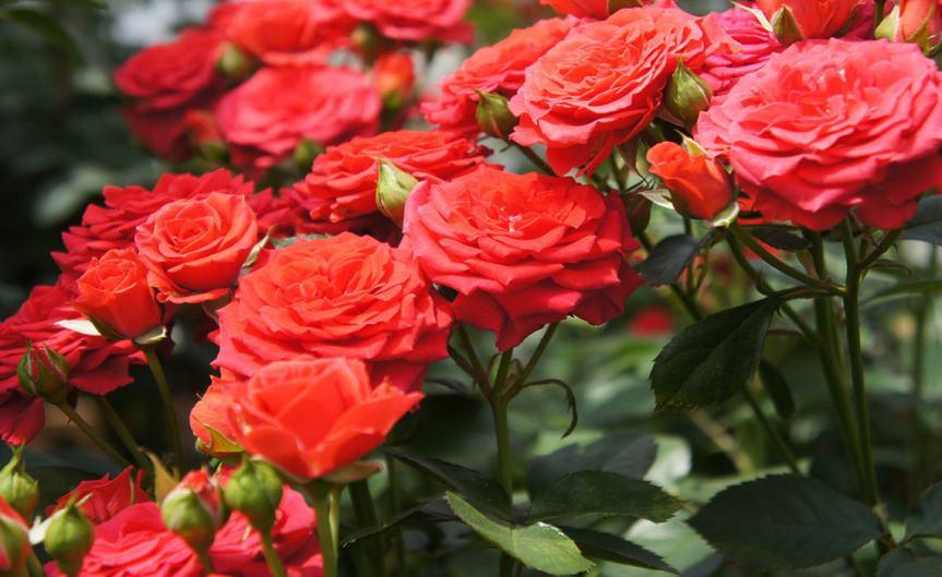 Rose Nikita [CCBYSA Kiya]