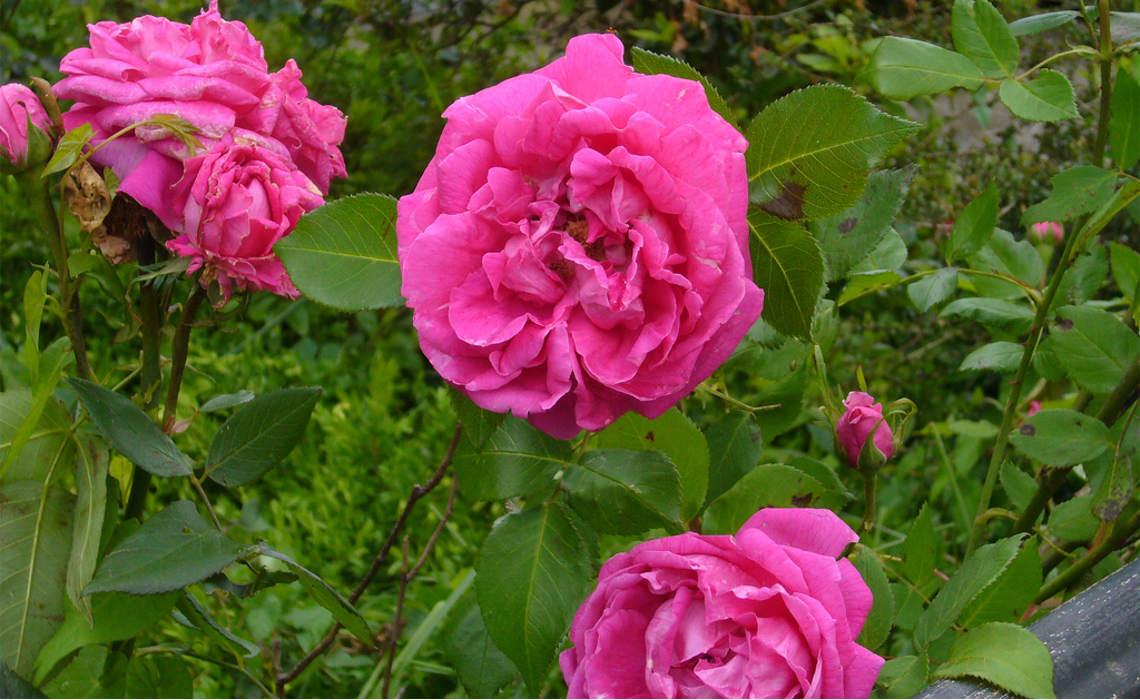 Rosebush [CCBY oboulko]