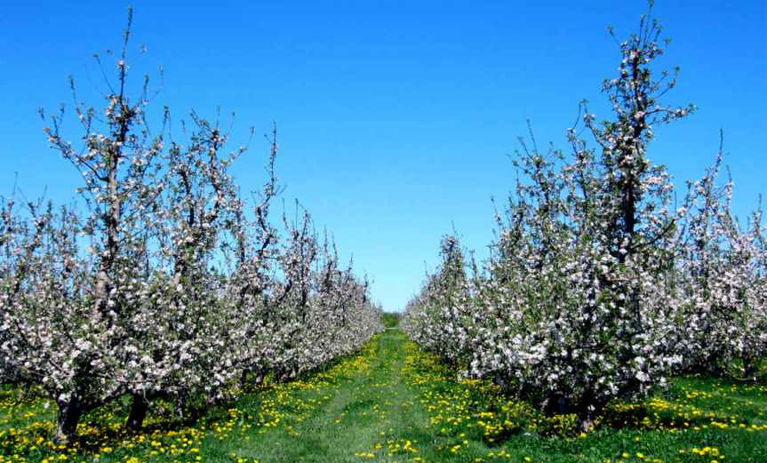 Rows of Fruit Trees [CCBY rkramer62]