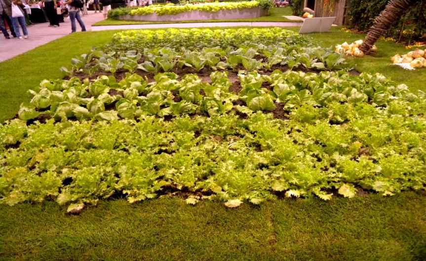 Salad Plants [CCBY Weisserstier]