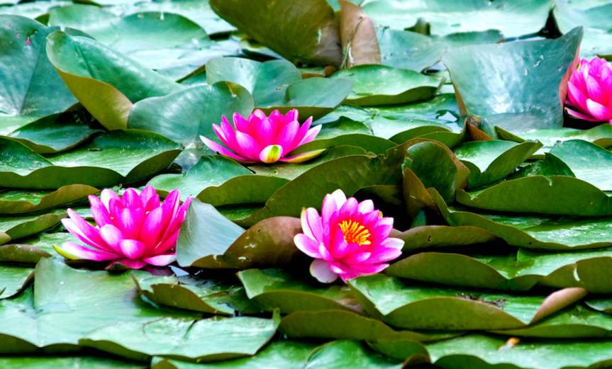 Waterlilies [CCBYSA Patrik Neckman]