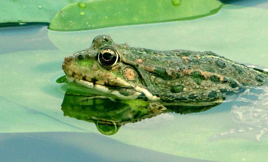 Frog [CCBYSA Paukrus]