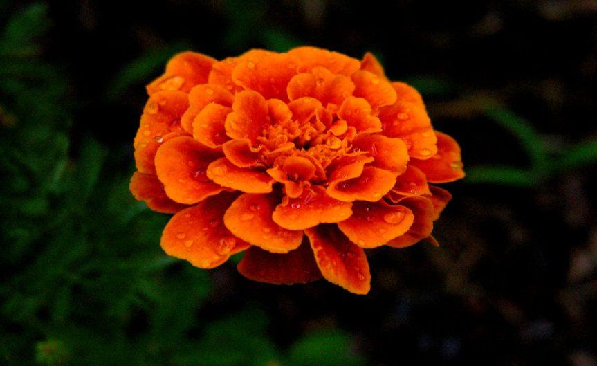 Marigold [CCBY Chrisbb@prodigy.net]