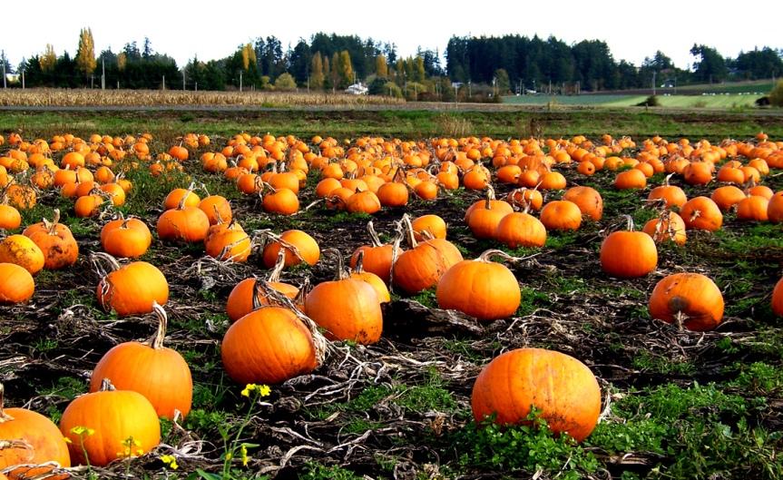 Pumpkins [CCBY Kams World]