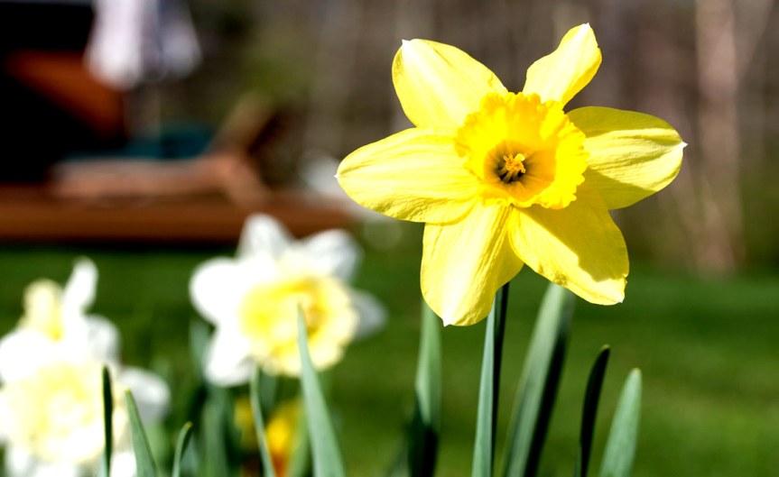 Spring Flower [CCBYRoger H Goun]