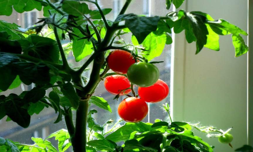 Tomato Plant [CCBY Jiri Brozovsky]