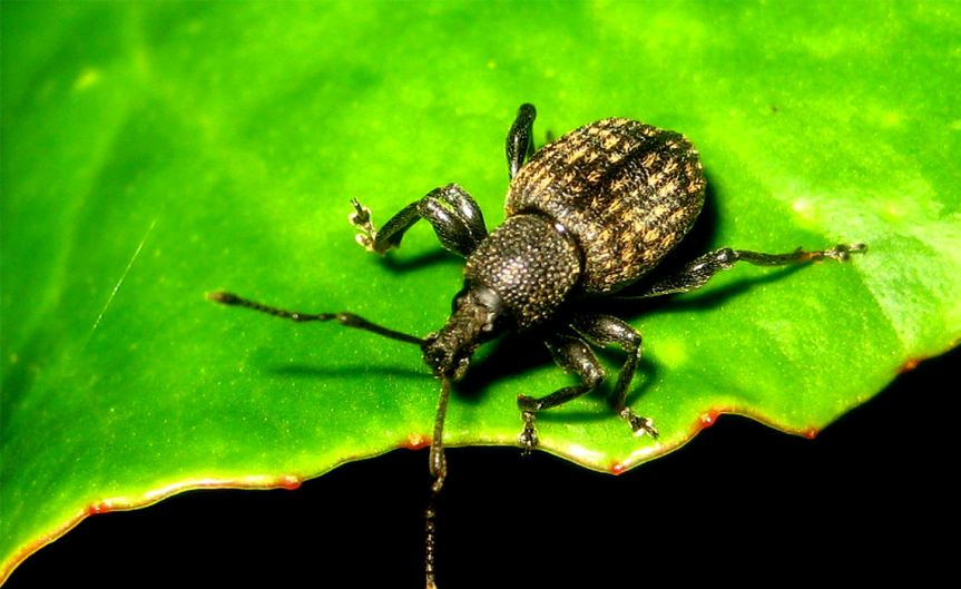 VineWeevil [CCBY DavidShort]