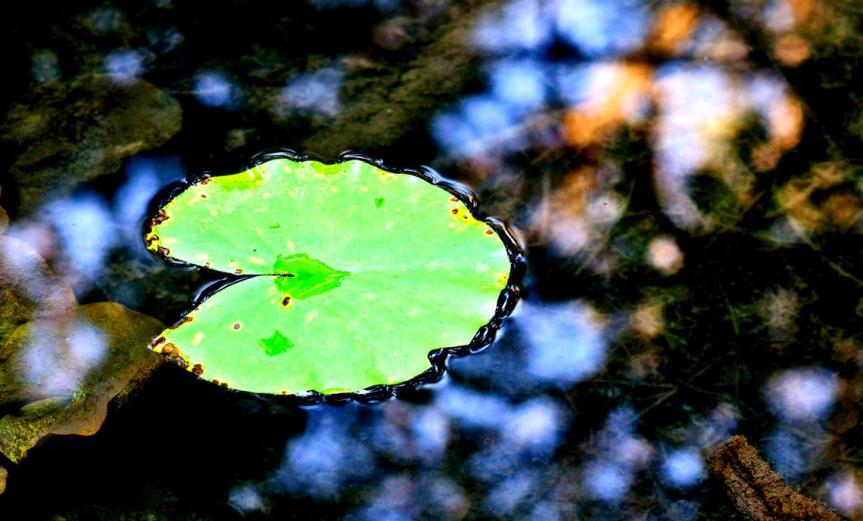 Waterlilie [CCBY Horia Varlan]