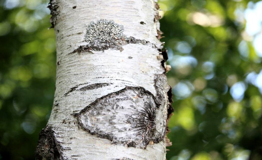 Birch [CCBY tanakaJUUYOH]