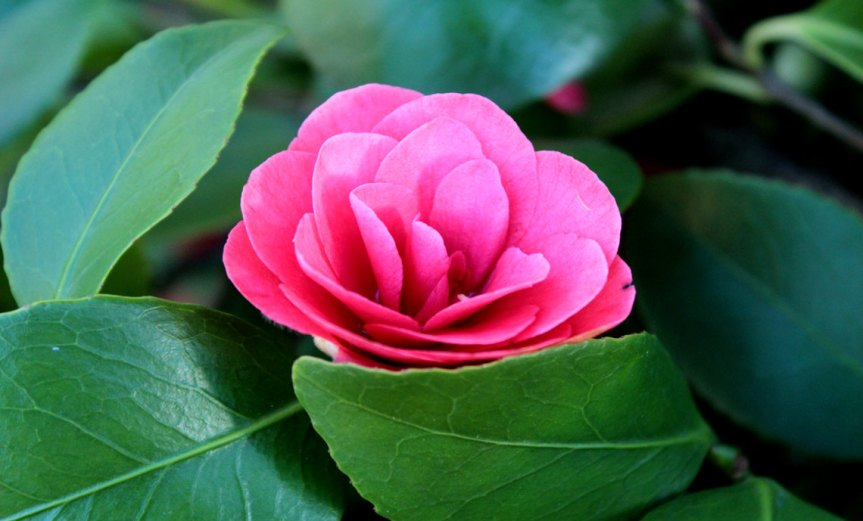 Camellia [CCBY-SA Joybot]