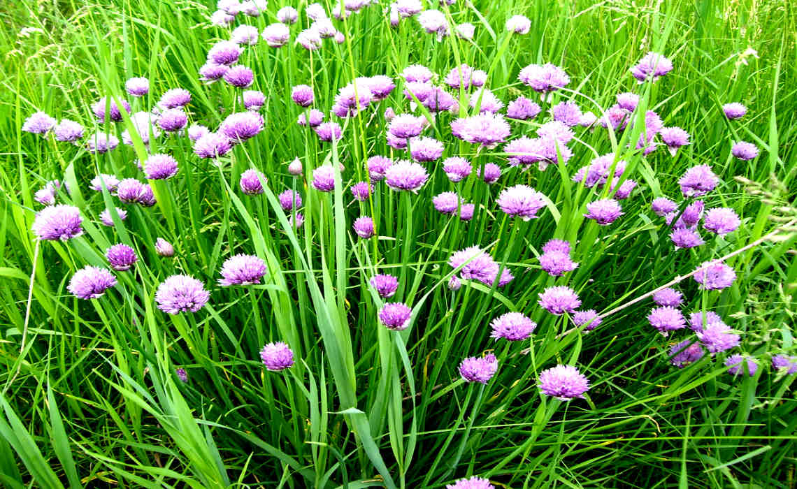 Chives [CCBY MikeBowler]