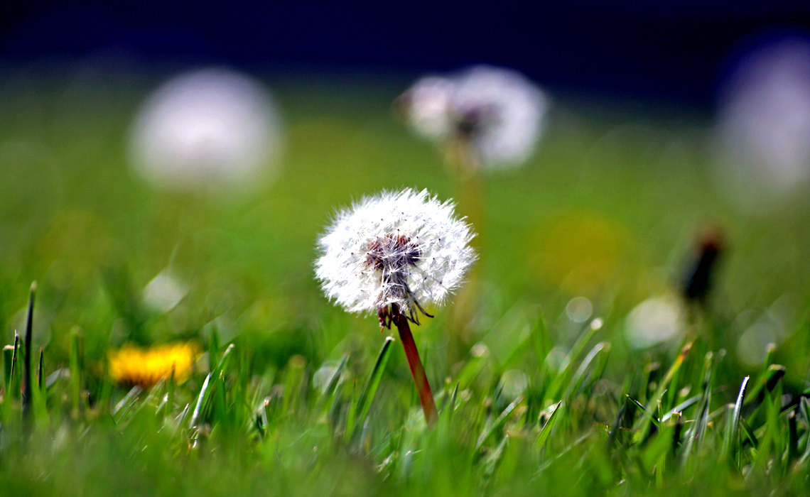Dandelion [CCBY JohnMorgan]