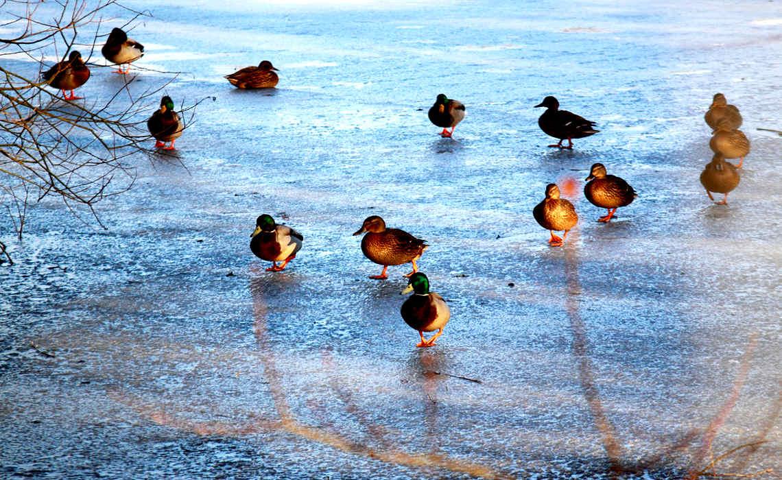 IceDucks [CCBY mjtmail]