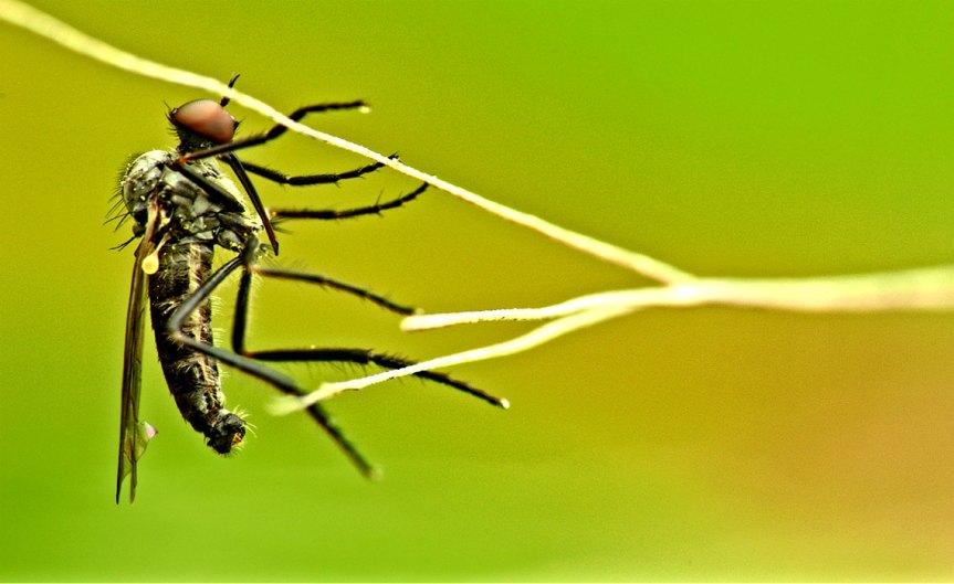 Mosquito [CCBY Ramon Portellano]