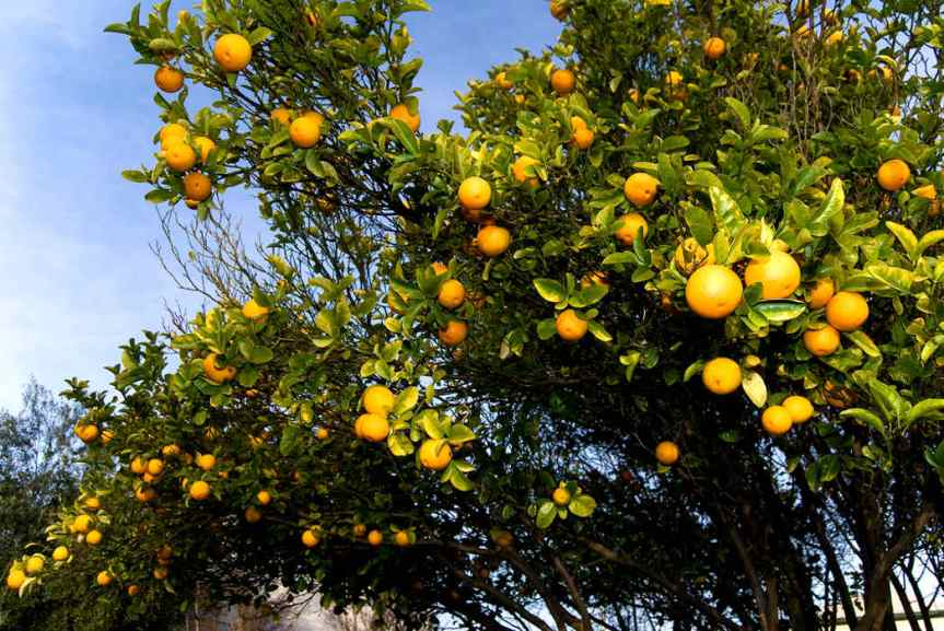 Oranges [CCBY rafaelcastillo]