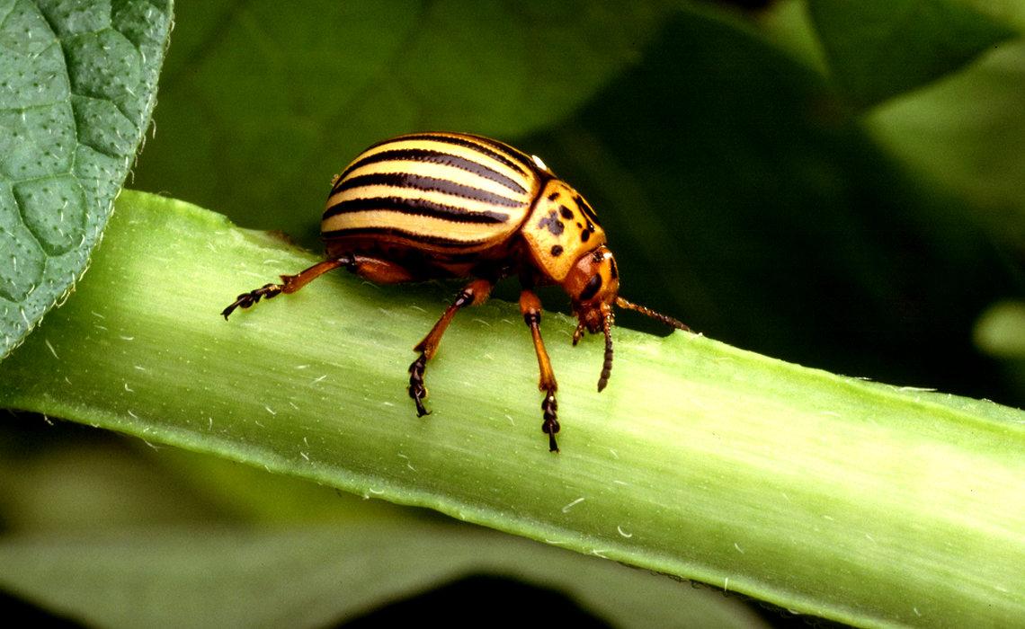 Potato Beetle [CCBY USDAgov]