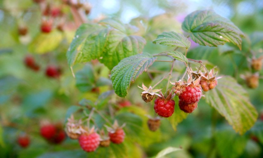 Raspberries [CCBY kahvikisu]