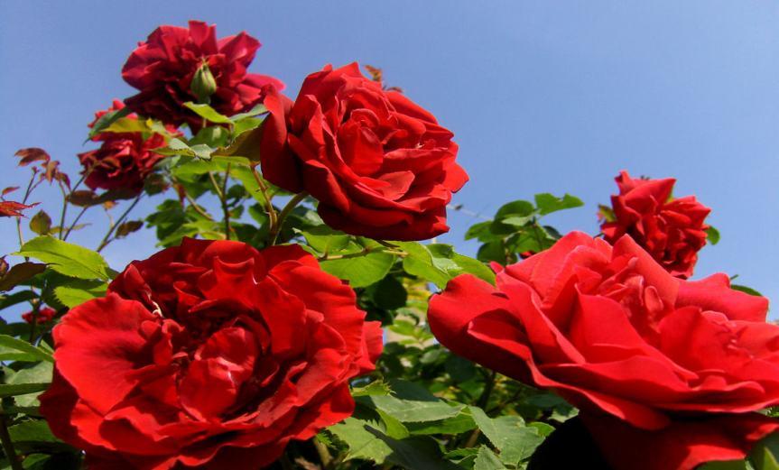 Rosebush [CCBY JoeShlabotnik]