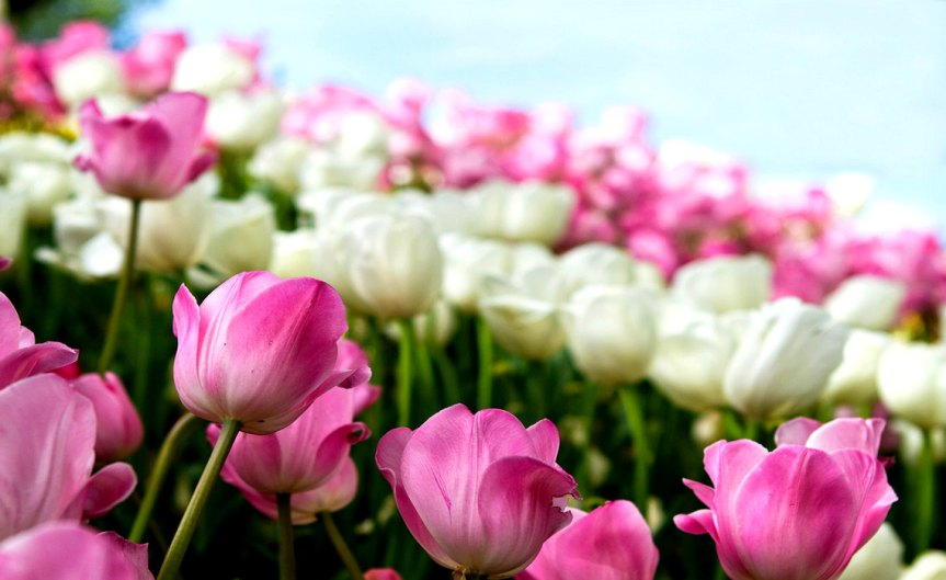 TulipBulbs [CCBY Aussiegall]