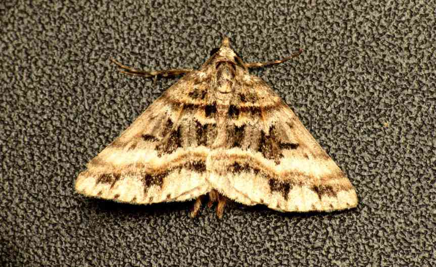 Moth [CCBY DonaldHobern]