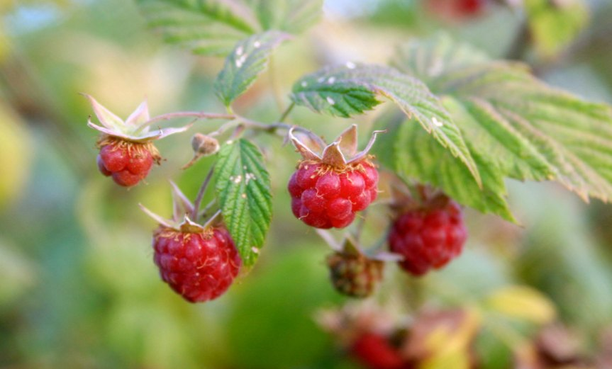Raspberries [CCBY Mako]