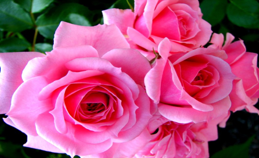 Roseblossom [CCBY Audrey]