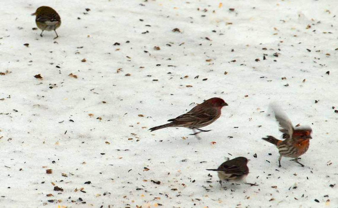 SnowBirds [CCBY HunterDesportes]