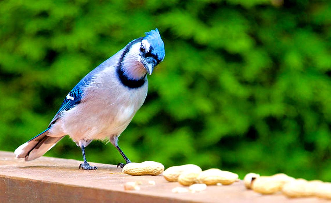 Bluebird [CCBY JamieMcCaffery]