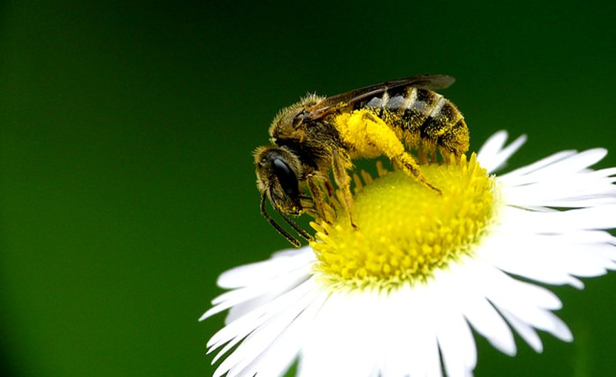 Bee [CCBY coniferconifer]