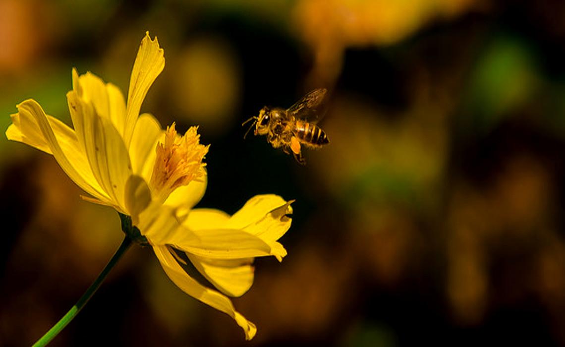 Bee [CCBY udithawickramanayaka]