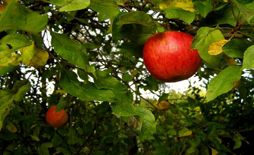 FruitTree [CCBY ErichFerdinand]