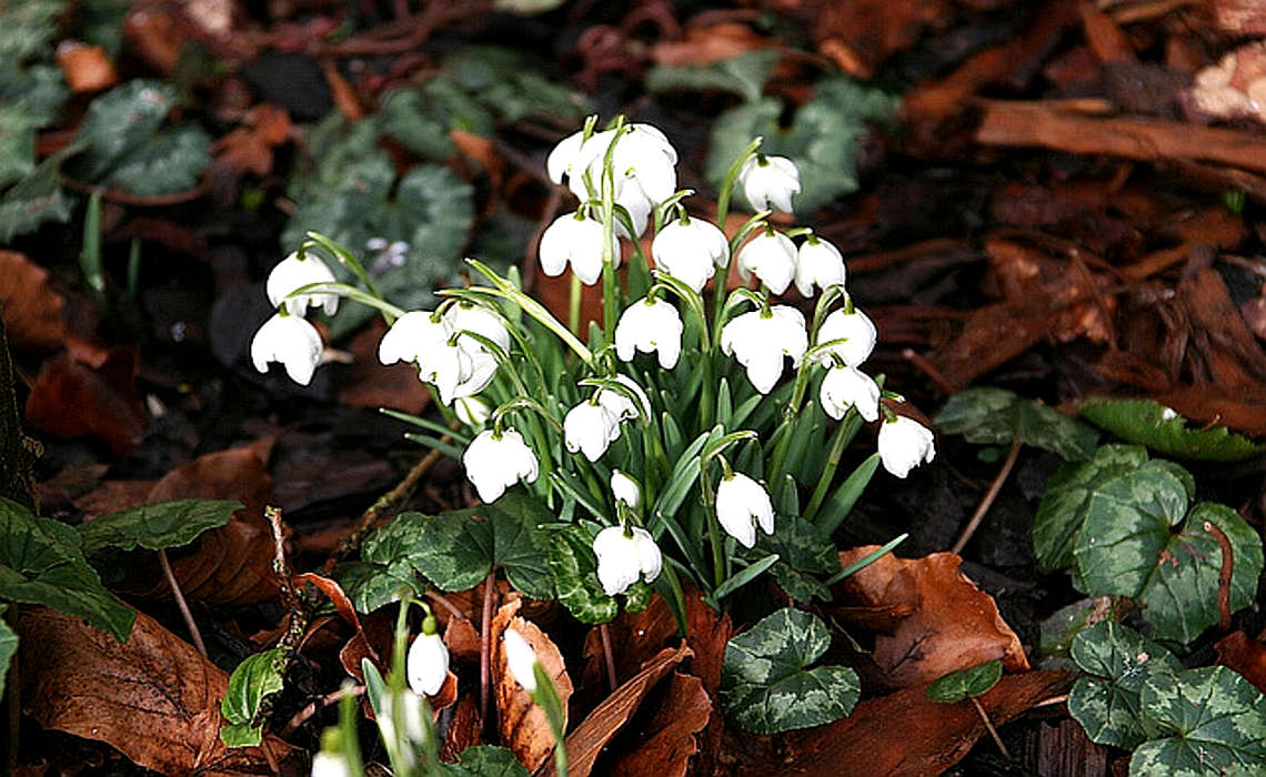 Snowdrops [CCBY AndrewFogg]