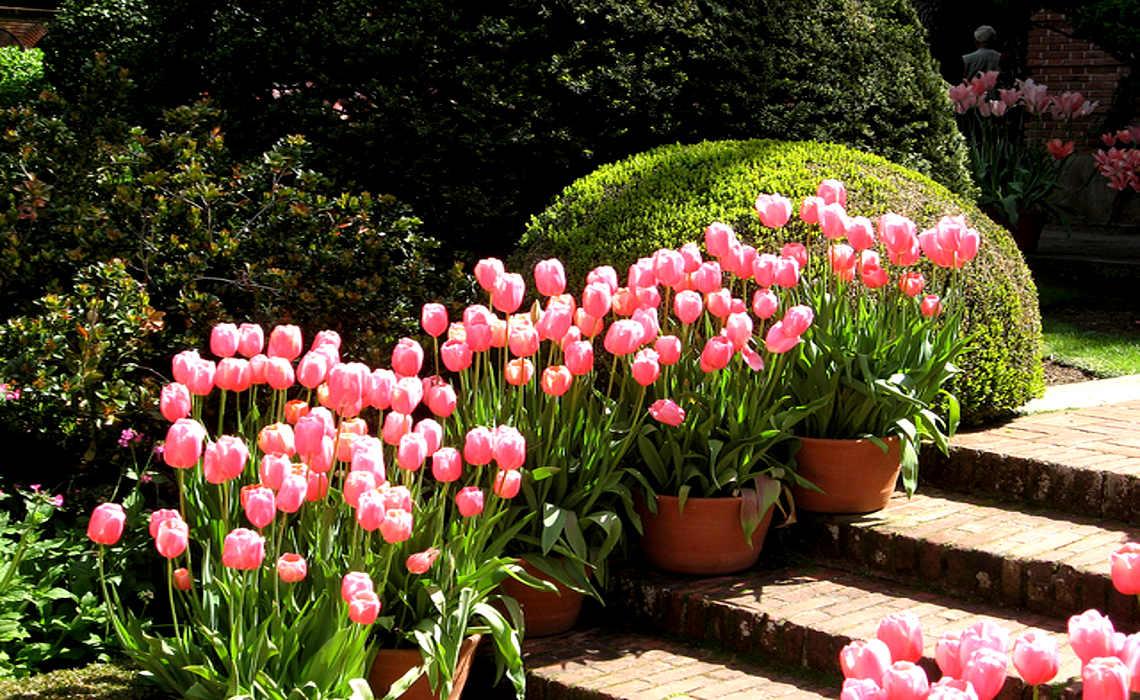 Tulips [CCBY-SA BillAbbot]